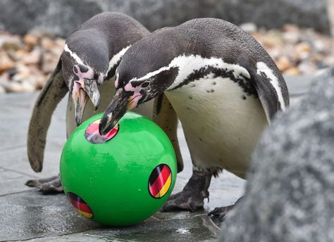 Tiny Penguins Are Predicting The Results Of World Cup Matches Penguins Penguin World World Cup Match