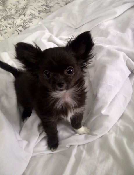 Black Chihuahua Puppy Visit Our Website Now Way Way