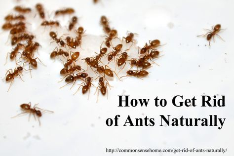 How To Get Rid Of Ants Naturally Why You Should Protect Outside