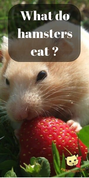What Do Hamsters Eat Food List And Exceptions Hamster Food Hamster Dwarf Hamster Food
