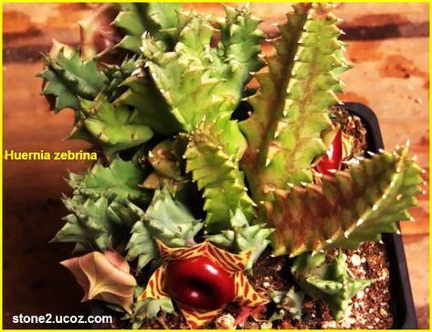 نبات الزينة ربض مقلم Huernia Zebrina النبات سميت إلى أسماء شخصيات النبات معلومات نباتية وسمكية معلوماتية Plants