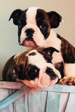 Litter Of 2 English Bulldog Puppies For Sale In Fort Morgan Co