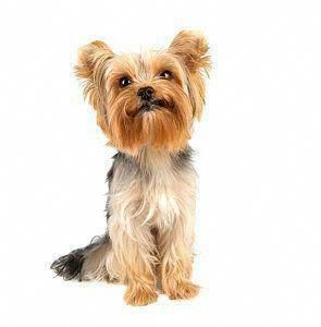 Yorkshire Terriers Are A Small Type Of Toy Dogs Weighing A