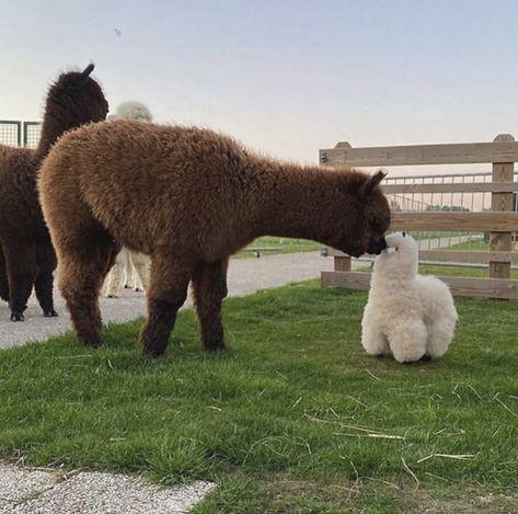 Cute Baby Cow, Baby Animals Super Cute, Baby Cows, Cute Cows, Cute Little Animals, Cute Funny Animals, Baby Farm Animals, Baby Llama, Fluffy Cows