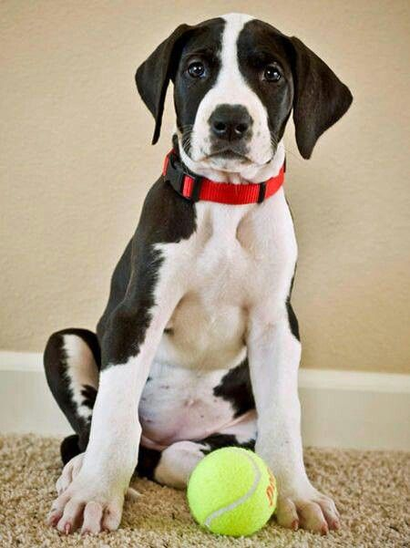 Bebe Boston Dane Puppies Great Dane Puppy Dane Dog