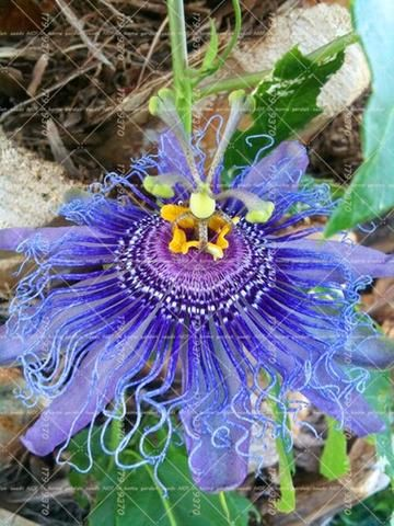 10pcs Blue Passion Flower Passiflora Incarnata Passion Fruit Bonsai Tropical Flower Indoor Plants For Home Unusual Flowers Passion Flower Blue Passion Flower