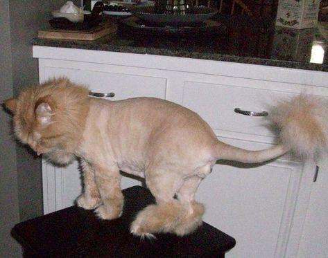 Orange Persian Cat Lion Cut images #persiancatlioncut