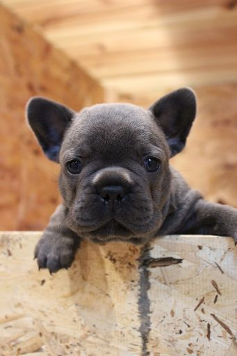 French Bulldog Puppy For Sale In Walton In Adn 61580 On
