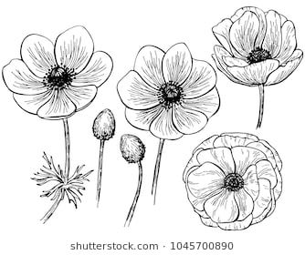 Hand Drawn Anemone Flower Isolated On White Background Set Of Elements Vector Illustration Perfect For Invitatio Flower Drawing Plant Drawing Anemone Flower