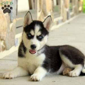 Pomsky Puppies For Sale Pomsky Breed Profile Pomsky Puppies