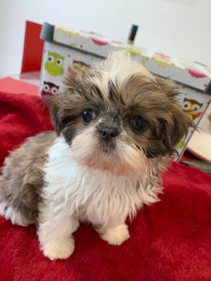Shih Tzu Puppies For Sale Adoption From South Australia Adelaide Metro Adpost Com Classifieds Australia 160705 Puppies For Sale Shih Tzu Puppy Shih Tzu
