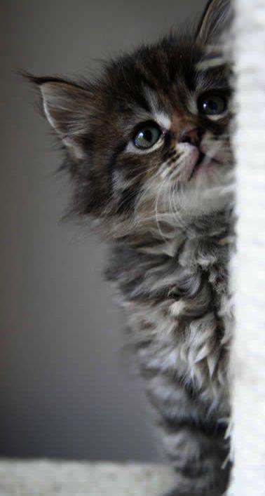 Kitten Meowing Sound Youtube Kittens For Adoption Henderson Nv His Kittens Meowing In The Night Provided Kittens Kittens Cutest Siberian Kittens Siberian Cat