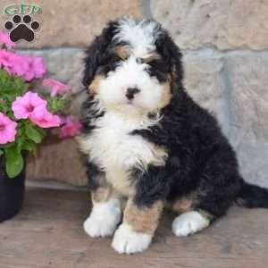 Mini Bernedoodle Puppies For Sale Bernedoodle Bernedoodle Puppy