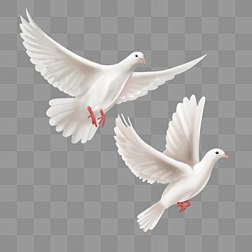Two Hand Painted White Peace Doves Flying High Two Flying High Pigeon Png Transparent Clipart Image And Psd File For Free Download White Painting Peace Dove Church Poster