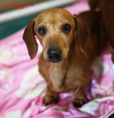 Boone Nc Dachshund Meet Pudge A Dog For Adoption Dachshund