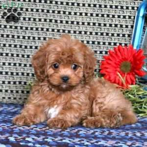 Cavapoo Puppies For Sale Cavapoo Dog Breed Info Greenfield Puppies Cavalier King Charles Spaniel Cavapoo Puppies For Sale Cavalier King Charles Spaniel Tricolor