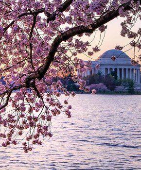 Guide To The National Cherry Blossom Festival In Washington Dc Washington Dc Cherry Blossom Dc Cherry Blossom Festival Cherry Blossom Washington Dc
