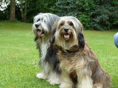 Tibet Terrier Berger Des Pyrenees Chien