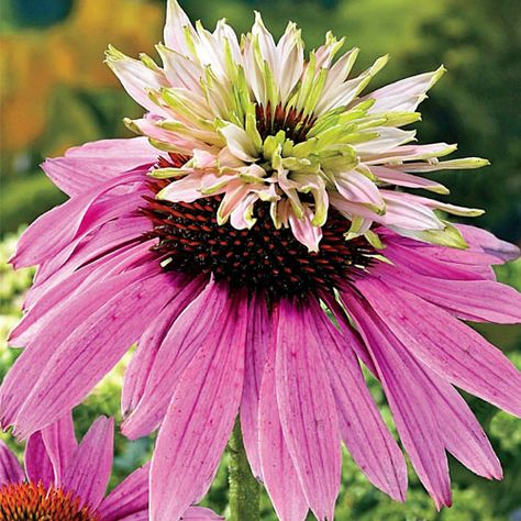 I bought a couple of these beautiful double decker coneflowers for the back row of my garden.