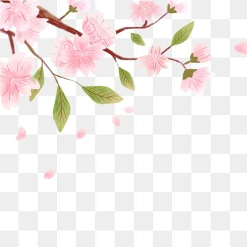 Fresh And Beautiful Cherry Blossom Decoration Design Cherry Blossom Clipart Hand Painted Beautiful Png Transparent Clipart Image And Psd File For Free Downlo Beautiful Flower Designs Flower Png Images Cherry Blossom