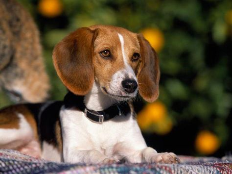 Breed Of The Week American Foxhound Area Of Origin Usa Date Of