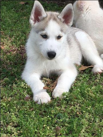 Siberian Husky Puppy For Sale In Joplin Mo Adn 27462 On