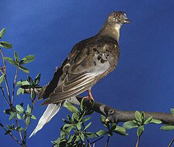 """""""Martha,"""" a passenger pigeon named after George Washington's wife, was the last of her kind. Immediately following her death in 1914 at the Cincinnati Zoological Gardens, she was packed in an enormous 300-pound block of ice and shipped to the Smithsonian."""