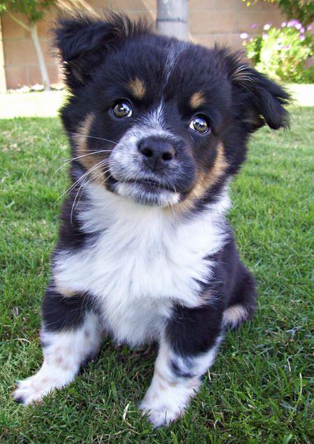 Sage the Mixed Breed -- Puppy Breed: Australian Cattle Dog / Australian Shepherd