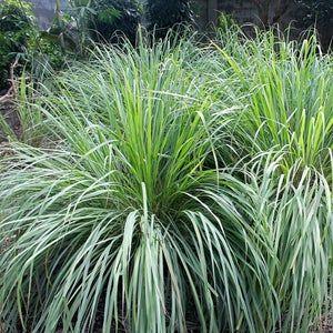 1 FOOT Lemon Grass Thai Herb Plant Drought Resistant Lemongrass FOR PLANTING