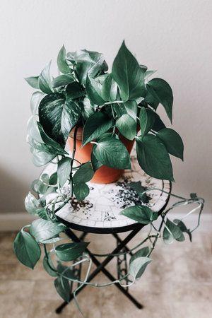 Heartleaf Philodendron Philodendron Scandens Oxycardium Plantas Colgantes Plantas Plantas Bonitas