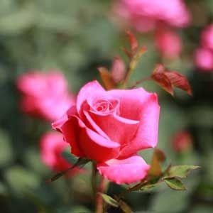 Arti Mawar Pink Flowers Arty Pink