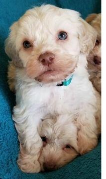 Maltipoo Puppy For Sale In Chesapeake Va Adn 69329 On