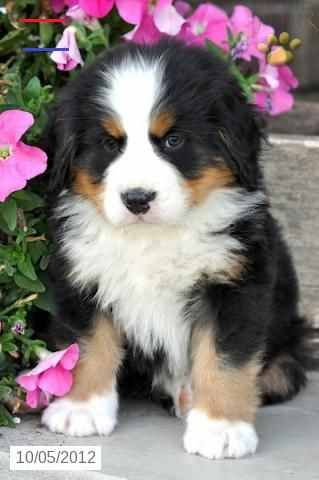 Pin By Madeleine H On Bernese Mountain Dogs In 2020 Cute Dogs And Puppies Bernese Mountain Dog Puppy Cute Dogs
