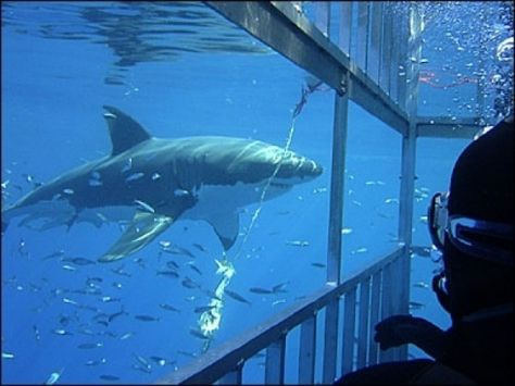 SharkCage Diving In Cape Town With Revel Adventures South - Man fights great white shark sydney harbour jumping cliff