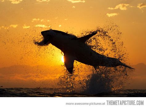 Great White Shark jumping during the sunset…