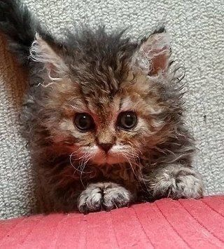 Pin By R2 On Cats Selkirk Rex Laperm And Other Curly Haired Cats In 2020 Pets Kittens Cutest Cats And Kittens