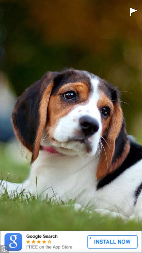 Cute Beagle Laying In Green Grass With Images Cute Beagles