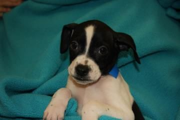 Lovables: #Bellevue #Washington ~ Meet Key, a 2-month-old Pit Bull Terrier/Spaniel mix. Key is rambunctious and up for fun! This little guy has lots of energy and he's looking for a playmate who can keep up with his lust for life. Sound like you? Come meet Key at the Seattle Humane Society - www.seattlehumane.org  Key will be available for adoption on Thursday, January 16th at 11am.