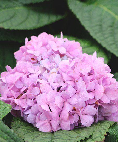 Perfect Plants Live Penny Mac Hydrangea Zulily