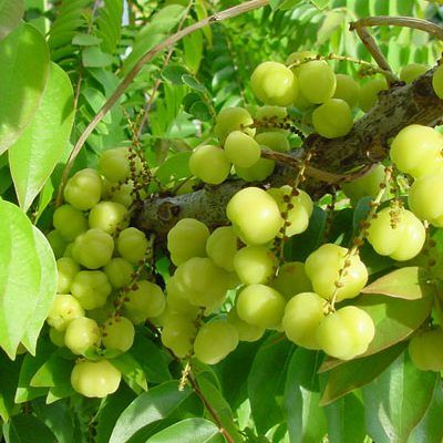 Pin On Buy Fruit Plants Online India