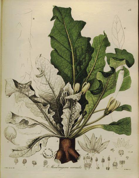 Mandragora, Mandrake
