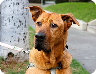 Los Angeles Ca Great Dane Rhodesian Ridgeback Mix Meet Duke A