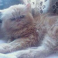 Westerly Ri Persian Meet Snoopy Egyptian Purrsian A Cat For Adoption Cat Adoption Kitten Adoption Pets