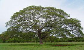 Guayaquil: árboles y plantas de su entorno: Especies arbóreas ornamentales  | Jardinería, Plantas, Especies