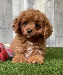 Cavapoo Puppies For Sale Lancaster Puppies Cavapoo Cavapoo