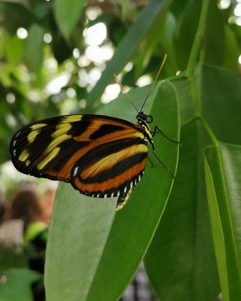 Una más 😍🐛🦋 Tiger - Wing Buetterfly #mariposa #mariposas #lepidoptera #butterfly #butterflies #mariposario #cdmx #chapultepec #naturaleza #butterfly🦋 #butterflygarden #butterflylove #butterflylover #insta_photo #instamex #instanature #instabutterfly #butterflylovers #naturaleza #nature #naturephotography #vidaanimal #mextagram #mexicocity #mextragram #instamex #tigerwingbutterfly #insectsofinstagram #butterfliesofinstagram #butterfliesoftheworld