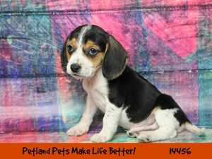 Dogs Puppies For Sale Petland Chicago Ridge Illinois Pet Store With Images Puppies For Sale Pet Dogs Puppies Puppies