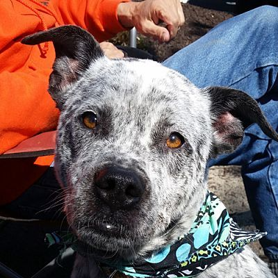 Pictures Of Roscoe Cattle Dog Mix Adopt A Cattle Dog For