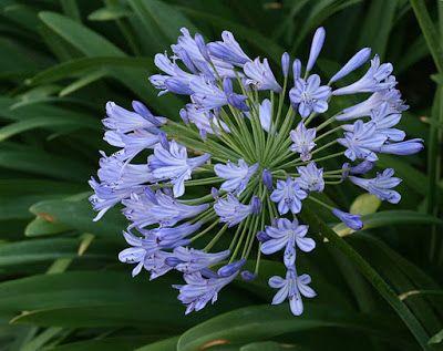 Fiori Celesti Nomi.Fiori Azzurri Agapanthus Con Immagini Tipi Di Fiori Fiori