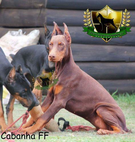 Dobermanpinscher Doberman Pinscher Puppy Doberman Pinscher Dog